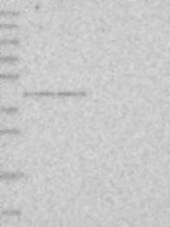 NBP1-90072 - GPN1 / XAB1