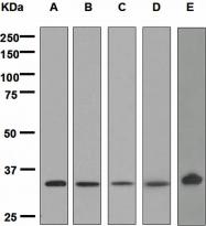 NBP1-95395 - XBP1 / TREB5