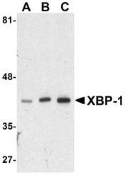 NBP1-77253 - XBP1 / TREB5