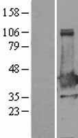 NBL1-13638 - XLF Lysate