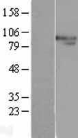 NBL1-10321 - XPB Lysate
