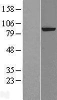 NBL1-10320 - XPD Lysate