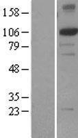 NBL1-10322 - XPF Lysate