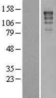 NBL1-10323 - XPG Lysate