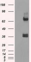 NBP1-48053 - XRCC4