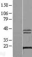 NBL1-17921 - XTP3TPA Lysate