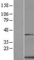 NBL1-08232 - XTP4 Lysate