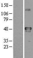 NBL1-16550 - YANK2 Lysate