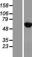 NBL1-17924 - YARS Lysate