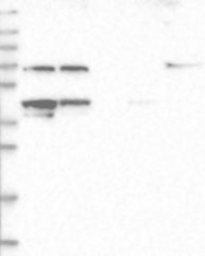 NBP1-84525 - YARS2
