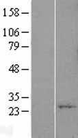 NBL1-17929 - YIF1A Lysate