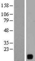 NBL1-12616 - YIF1B Lysate