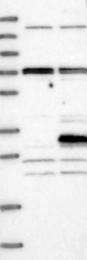 NBP1-84684 - YIPF4