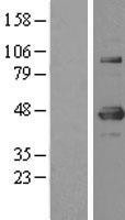 NBL1-17953 - YY1 Lysate