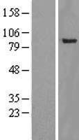 NBL1-17954 - YY1AP1 Lysate