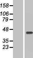 NBL1-08801 - Ymer Lysate
