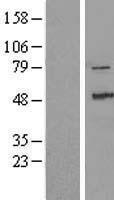 NBL1-17956 - ZAK Lysate