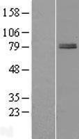 NBL1-17965 - ZBTB22 Lysate