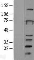 NBL1-17968 - ZBTB3 Lysate