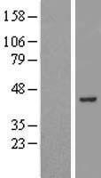 NBL1-17969 - ZBTB37 Lysate