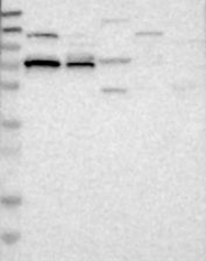 NBP1-88506 - BTBD4 / ZNF340
