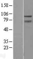 NBL1-17976 - ZBTB5 Lysate