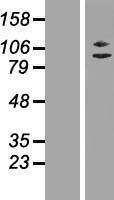 NBL1-17982 - ZC3H11A Lysate
