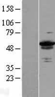 NBL1-17983 - ZC3H15 Lysate
