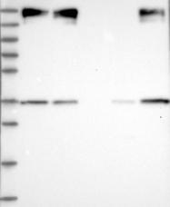 NBP1-88475 - ZC3H4