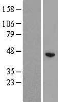 NBL1-17989 - ZCCHC12 Lysate