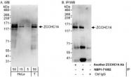 NBP1-71852 - ZCCHC14