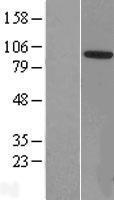 NBL1-17995 - ZCCHC8 Lysate