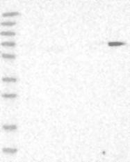 NBP1-87997 - ZCWPW1