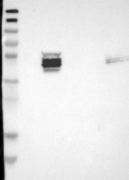 NBP1-82132 - ZDHHC6