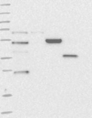 NBP1-84499 - ZDHHC9
