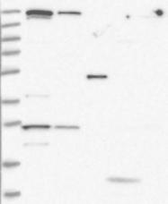 NBP1-81443 - ZNF409 / ZFHX2