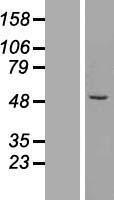 NBL1-18081 - ZFP200 Lysate