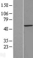 NBL1-18082 - ZFP200 Lysate