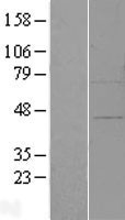 NBL1-18017 - ZFP30 Lysate