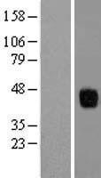 NBL1-18019 - ZFP36L1 Lysate