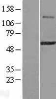 NBL1-18271 - ZFP38 Lysate
