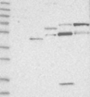 NBP1-85171 - ZFP64 (isoforms 1 and 2)