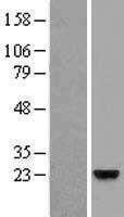 NBL1-12573 - ZG16B Lysate