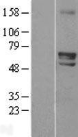 NBL1-18035 - ZIM2 Lysate