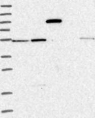 NBP1-80589 - ZIM3