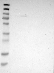 NBP1-81375 - ZMAT1