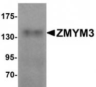 NBP1-76525 - ZMYM3