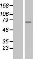 NBL1-18049 - ZMYND11 Lysate
