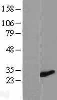 NBL1-18052 - ZMYND19 Lysate
