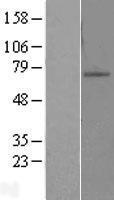 NBL1-18053 - ZNF10 Lysate
